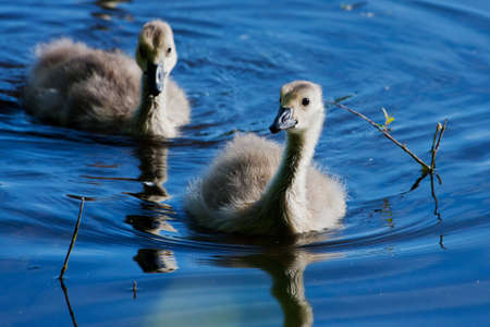 webfoot: Portrait of a pair small goslings swimming.