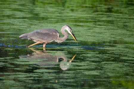 ardeidae: Great Blue Heron wades in a lake Fishing