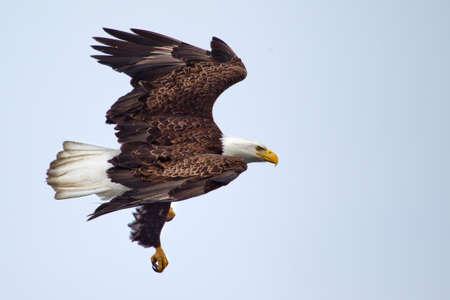 Águila calva americana que volaba contra un cielo azul