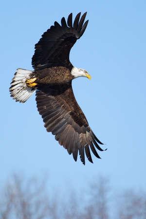calvo: Águila calva americana que volaba contra un cielo azul