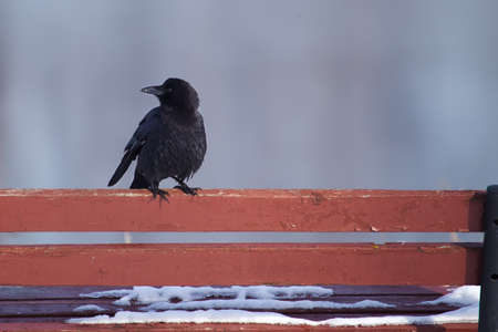 curved leg: raven standing on a bench in the winter. Stock Photo