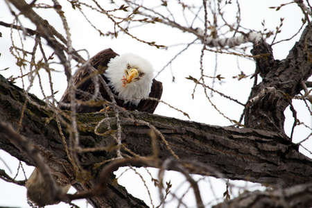 American Bald Eagle perched in a tree eating. photo