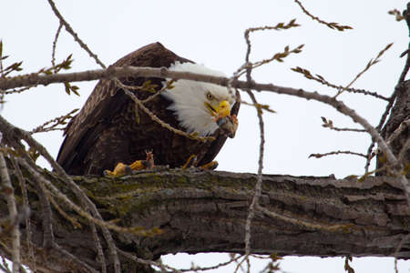 American Bald Eagle perched in a tree eating  photo