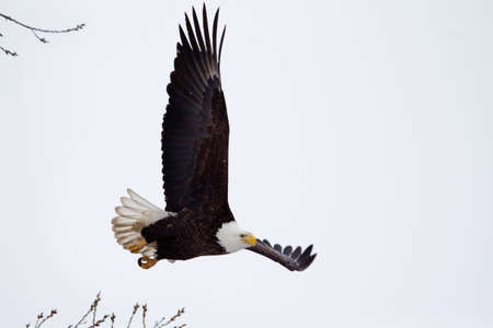 white tailed eagle: American Bald Eagle flying close to the ground  Stock Photo