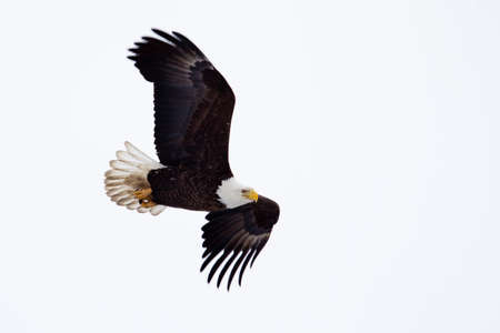 eagle flying: American Bald Eagle flying close to the ground  Stock Photo