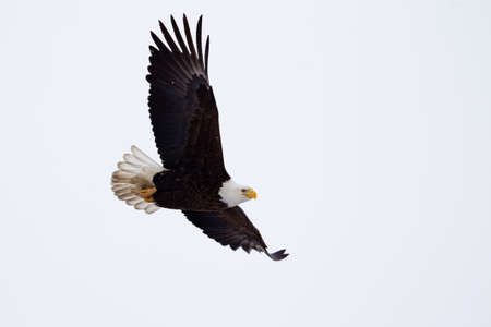American Bald Eagle flying close to the ground  photo
