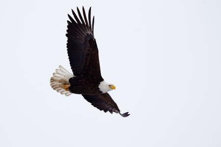 aguila volando: �guila calva americana que vuelan cerca del suelo Foto de archivo