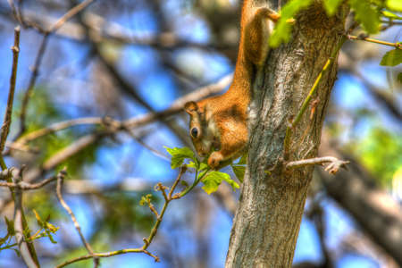 A Squirrel making a meal out of tree leaf buds in hdr