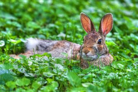 jack rabbit: Jack Rabbit Resting in the soft grass in hdr