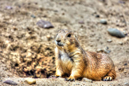 burrow: Prairie dog  standing at attention by it Stock Photo