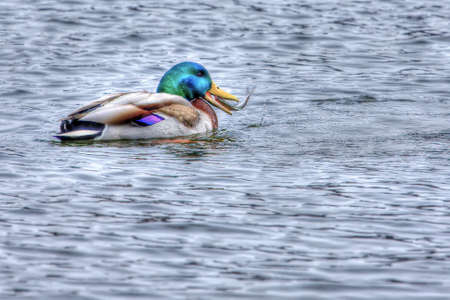 wildllife: Mallard catching and eating a small fish in High Dynamic Range Stock Photo