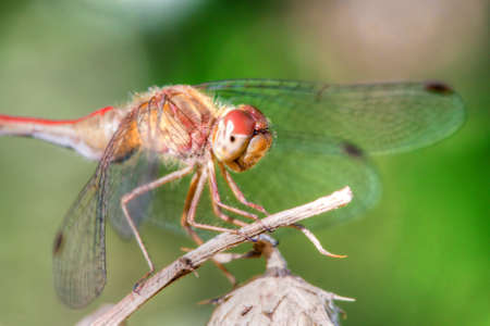 Common Darter Perched on a small twig in High Dynamic Range
