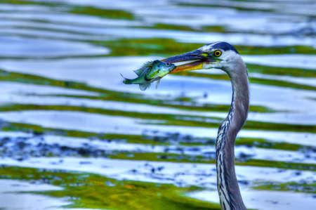 bluegill: Bluegill gets Caught by a Great Blue Heron in High Dynamic Range