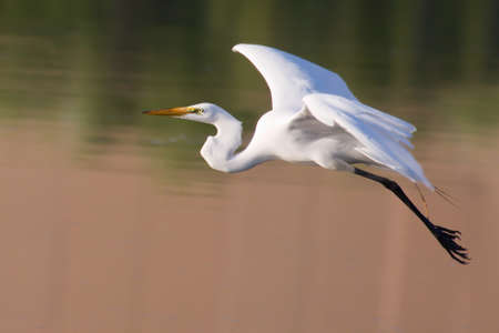 Great White Egret in Flight ready to land in HDR.