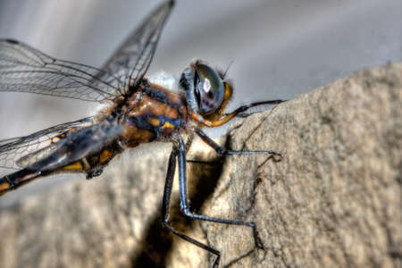 insecta: Common Darter Dragonfly perched on a ledge in HDR.