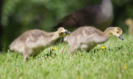 stepping: Canada goose gosling walking and eating on the grass.