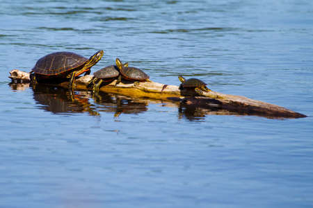 basking: Four Painted Turtles Basking in the Sun  Stock Photo