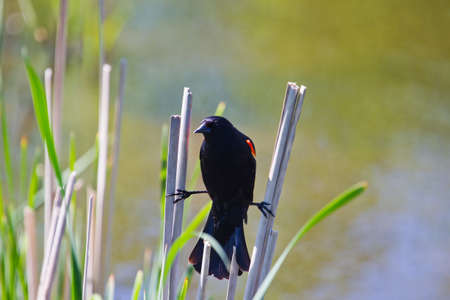red winged: Red Winged Blackbird perched on Cat Tail  Stock Photo