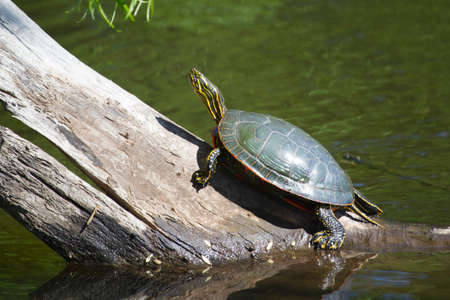 Two Painted Turtle Sunning on a log.