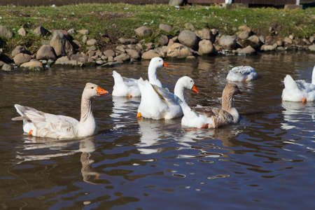 White Chinese Goose swimming swimming in a pond 版權商用圖片