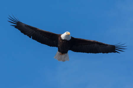 An image of an American Bald Eagle in Flight. photo