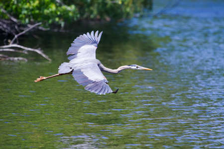 Great Blue Heron in Flight over lake