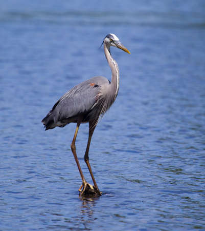 ardeidae: Great Blue Heron fishing in a pond