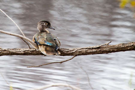 webbed legs: Male wood duck perched in a tree