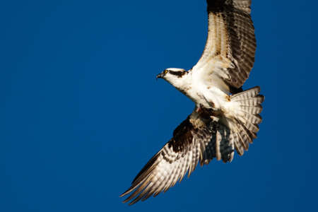 subspecies: Osprey (Pandion haliaetus carolinensis), American subspecies, in flight