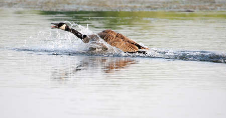 Northern Canadian goose landing in a pond.