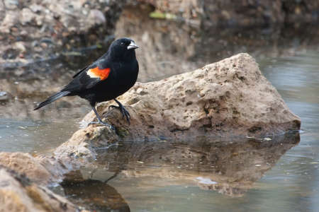 fencepost: Male Red-winged Blackbird standing in the marsh