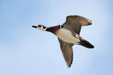 webbed legs: Male wood duck in flight with cloud and blue sky  Stock Photo