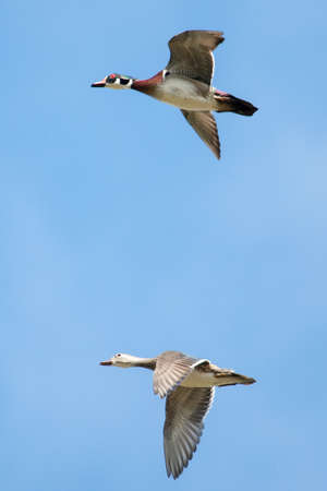 webbed legs: Male and Female wood ducks in flight with cloud and blue sky
