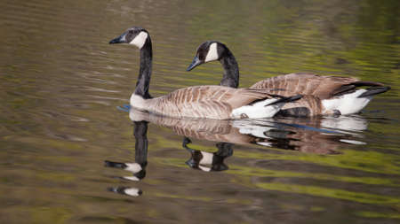 Two Canadian Geese swimming in a pond in soft focus photo