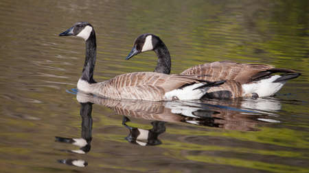 Two Canadian Geese swimming in a pond photo