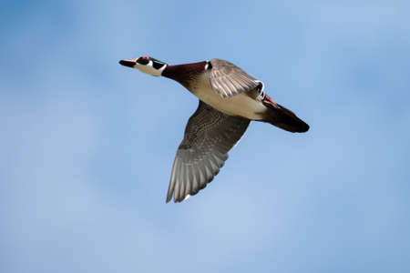 webbed legs: Male wood duck in flight with cloud and blue sky background in soft focus Stock Photo