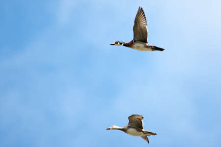 webbed legs: Male and Female wood ducks in flight with cloud and blue sky background