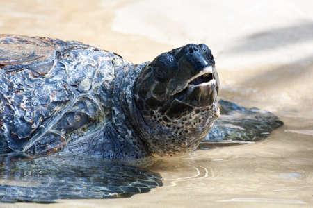 sharm: Sea Turtle Under Water a near rock
