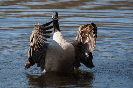 Canadian Goose flapping wings in the water in soft focus photo