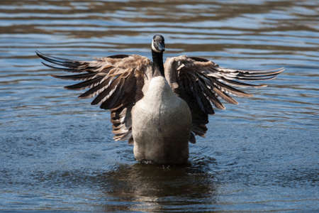 flapping: Canadian Goose flapping wings in the water in soft focus