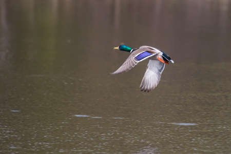 Mallard in flight and ready to land in soft focus photo