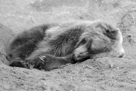 Brown Bear in the wild laying down in black and white in soft focus photo
