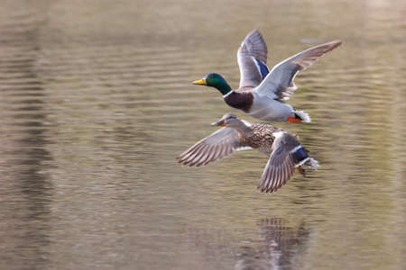 Male and Female Mallards in flight above lake