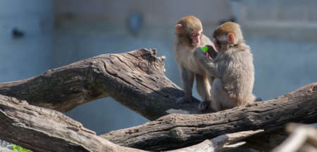 Two Macaque (Snow) Monkeys playing with a pacifier in soft focus photo