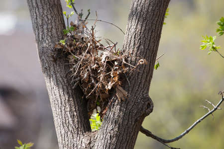 Arbre écureuil nid en haut d'un arbre feuillu.