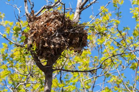 Tree squirrel nest high up in a leafy tree in soft focus