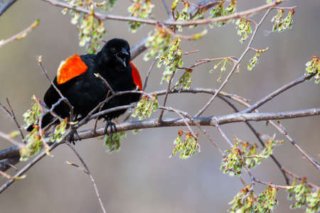 Male Red-winged Blackbird mad in a tree photo
