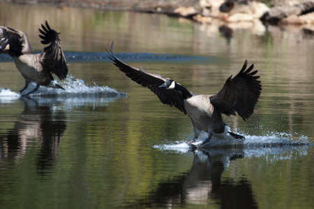 Canadian geese landing in the water on a pond photo