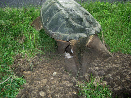 snapping turtle: common snapping turtle, chelydra s. serpentina, laying eggs