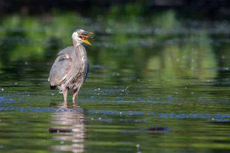bluegill: Great Blue Heron eating a fish he just caught Stock Photo